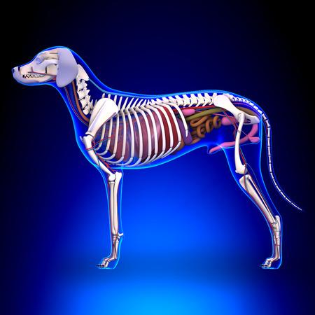 dead dog: Dog Internal Organs Anatomy - Anatomy of a Male Dog Internal Organs Stock Photo
