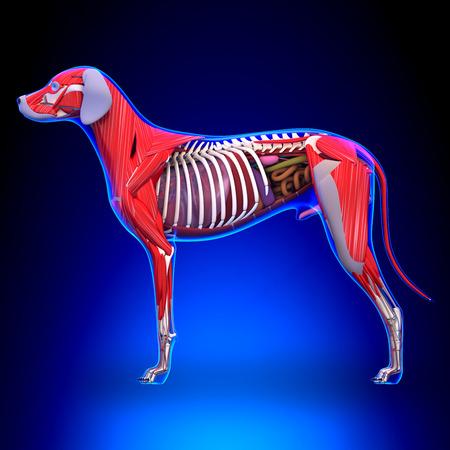 犬の内臓の解剖学 - オス犬の内臓の解剖学 写真素材