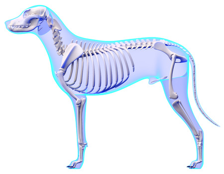 Dog Skeleton Anatomy - Anatomy of a Male Dog Skeleton photo