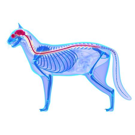 nerveux: Cat Système nerveux isolé sur blanc