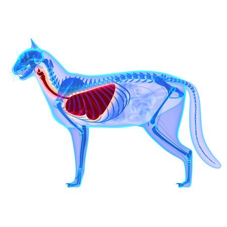 猫胸郭と肺の解剖学白で隔離