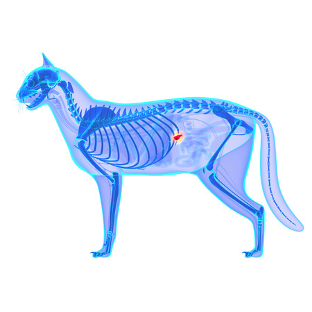Cat Pancreas Anatomy  isolated on white Stock Photo