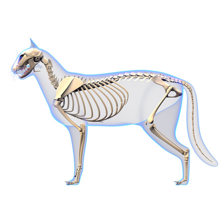 Cat Skeleton Anatomy side view
