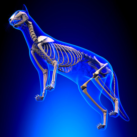 Cat Skeleton Anatomy Stock Photo Picture And Royalty Free Image
