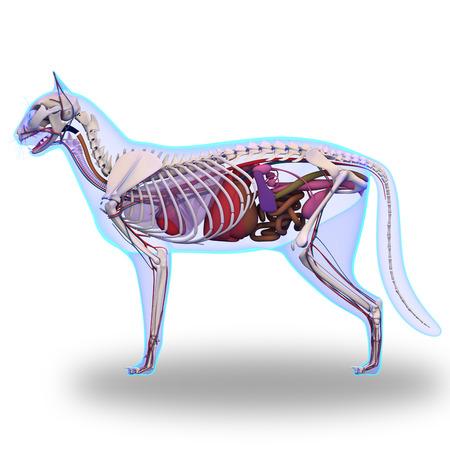 猫の解剖学 - 猫の内部解剖学 写真素材