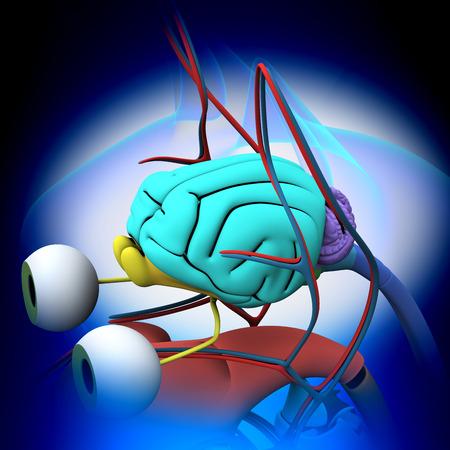 autopsy: Cat Brain Anatomy - Anatomy of a Cat Brain
