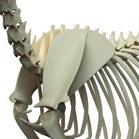 scapula: Cat Scapula Anatomy - Anatomy of a Cat Scapula Stock Photo