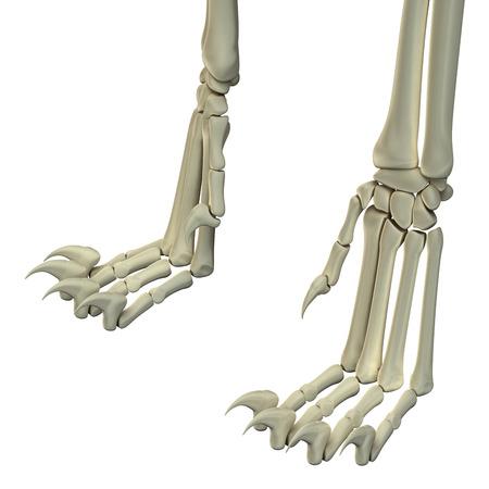 tarsus: Cat Hind Legs Anatomy Bones