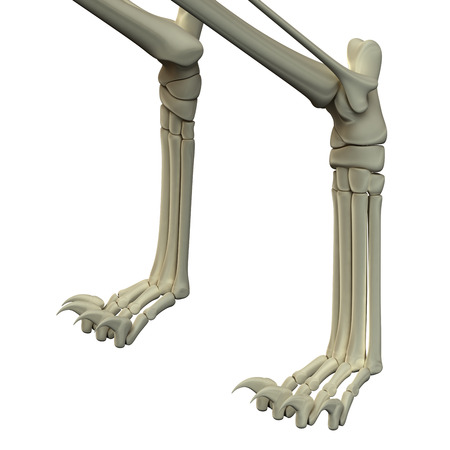 Cat Front Legs Anatomy Bones Stock Photo Picture And Royalty Free