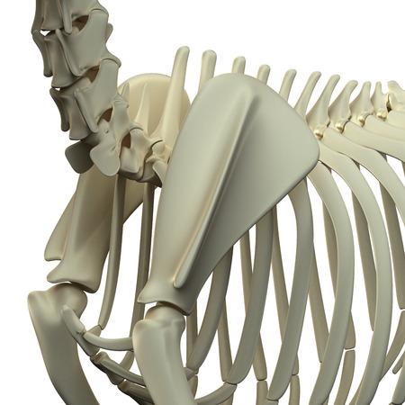 scapula: Dog Scapula Anatomy - Anatomy of a Canine Scapula