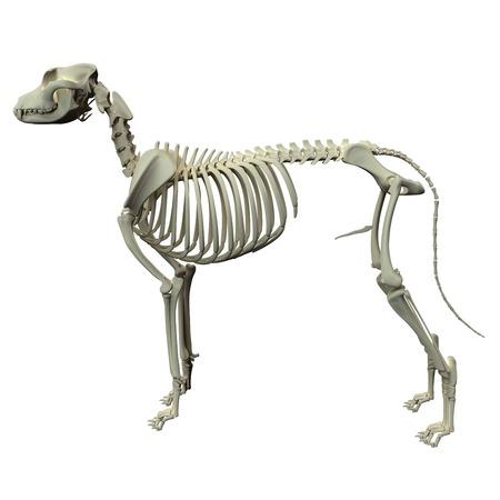 anatomy x ray: Dog Skeleton Anatomy - Anatomy of a Male Dog Skeleton
