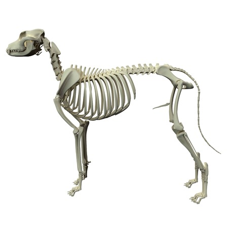 Dog Skeleton Anatomy - Anatomia di un maschio di cane Skeleton Archivio Fotografico - 39347797