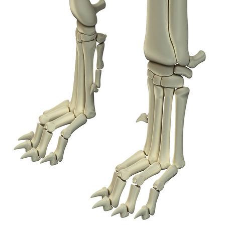 犬の後ろ足の解剖学の骨