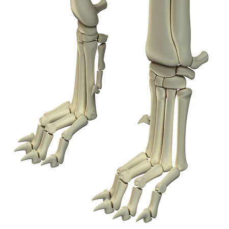 Dog Hind Legs Anatomy Bones