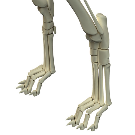 Dog Front Legs Anatomy Bones Stock Photo Picture And Royalty Free