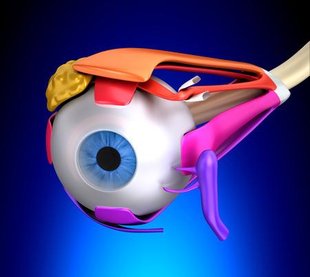 anatomia humana: Los músculos oculares Corte transversal Anatomía Humana sobre fondo azul Foto de archivo