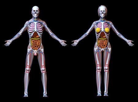 strong skeleton: Anatomy Male Female  isolated on black