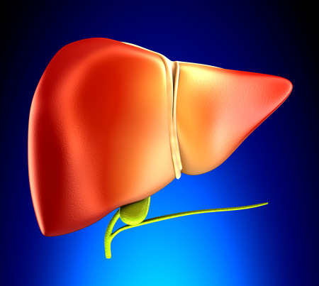 gallbladder surgery: Liver Real Human Anatomy on blue background