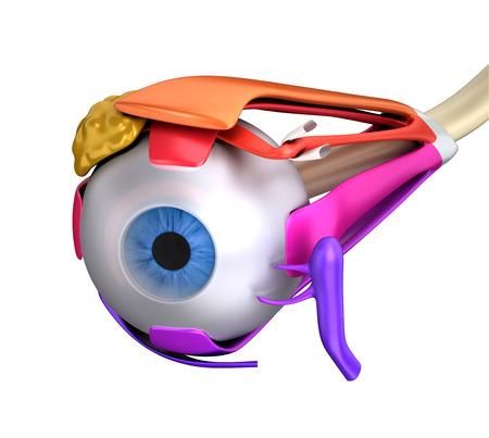 ojo humano: Los músculos oculares Anatomía Humana Sección Cruz aislado en blanco