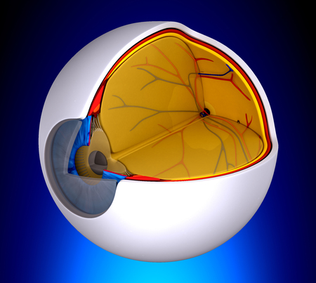vitreous: Eye Cross Section Real Human Anatomy  on blue background