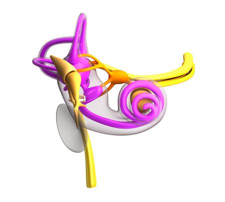 白で隔離の内側の耳の解剖学