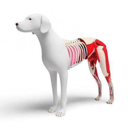 ulna: Dog Anatomy Crosssection  isolated on white Stock Photo
