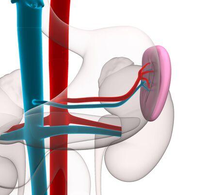 spleen: Spleen Human Anatomy with circulatory system isolated on white