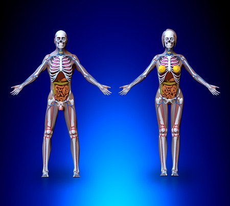 male and female: Anatomy Male Female  Organs Circulatory System Skeleton Stock Photo