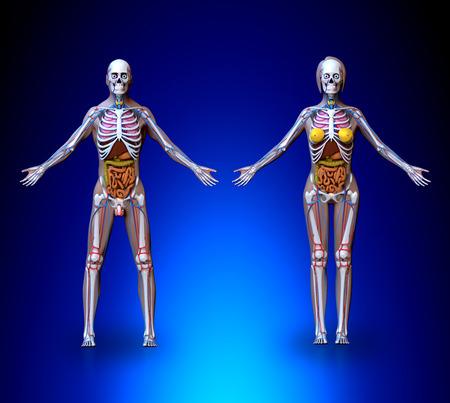 strong skeleton: Anatomy Male Female  Organs Circulatory System Skeleton Stock Photo