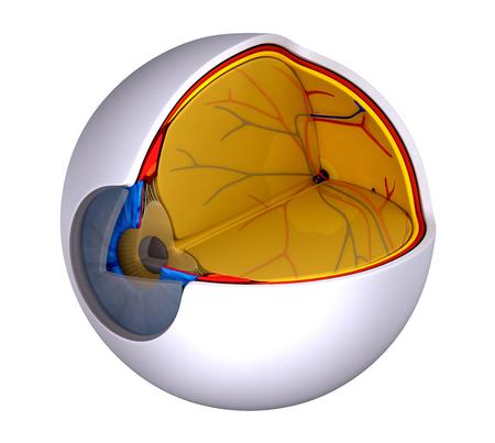 macula: Eye Cross Section Real Human Anatomy  isolated on white