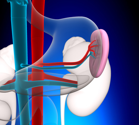 spleen: Spleen Human Anatomy with circulatory system on blue background concept