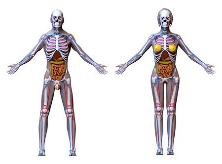 strong skeleton: Anatomy Male Female  isolated on white
