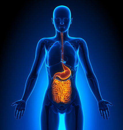 organi interni: Guts - Female Organi - Human Anatomy
