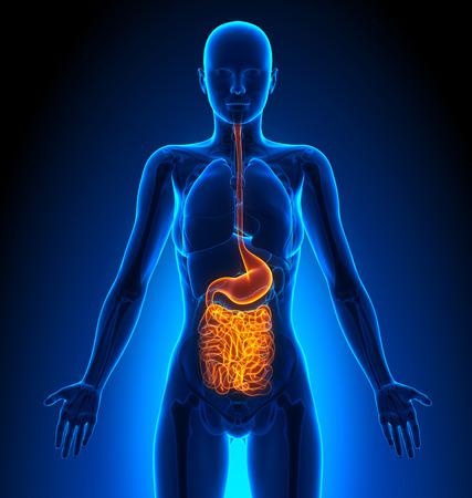 cuerpo femenino: Guts - Órganos femeninos - Anatomía Humana Foto de archivo