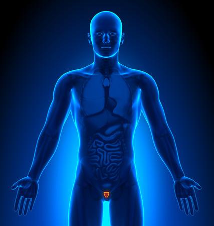 prostate: Medical Imaging - Male Organs - Prostate