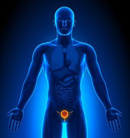 medical imaging: Medical Imaging - Male Organs - Bladder