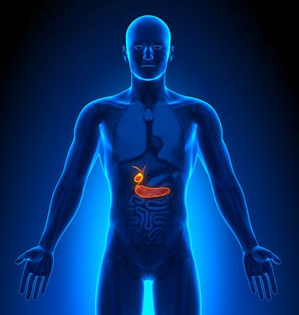 trzustka: Obrazowanie medyczne - męskich narządów - pęcherzyka żółciowego  Trzustka