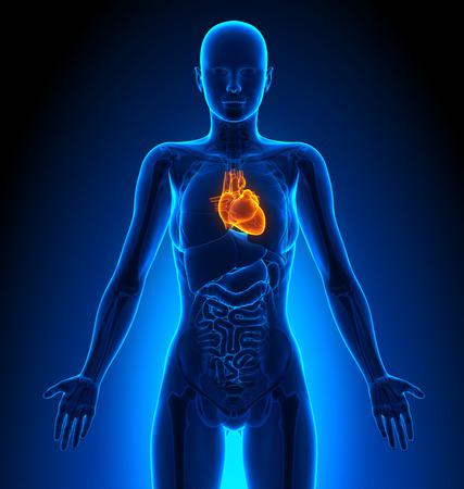 human heart: Corazón - Femenino Órganos - Anatomía Humana