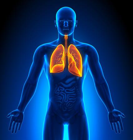anatomia: Imágenes Médicas - Male Órganos - Pulmones Foto de archivo