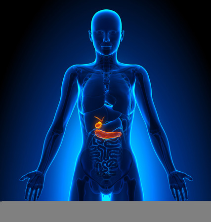 female anatomy: Gallbladder  Pancreas - Female Organs - Human Anatomy