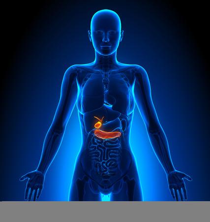 trzustka: Pęcherzyka żółciowego  Trzustka - żeńskich narządów - Anatomia człowieka Zdjęcie Seryjne