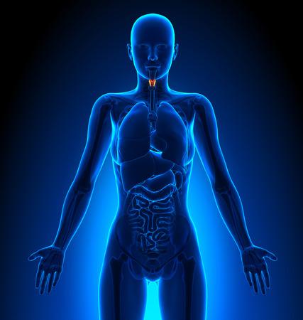 larynx: Larynx - Female Organs - Human Anatomy