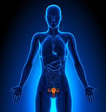 anatomie: Voortplantingssysteem - Vrouwelijke Organen - Anatomie van de mens Stockfoto