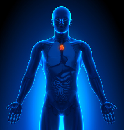 thymus: Medical Imaging - Male Organs - Thymus
