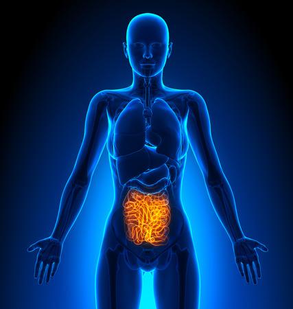Small Intestine - Female Organs - Human Anatomy Stock Photo