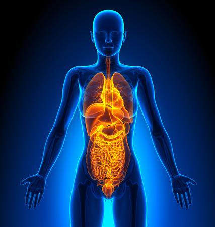 human organs: All - Female Organs - Human Anatomy