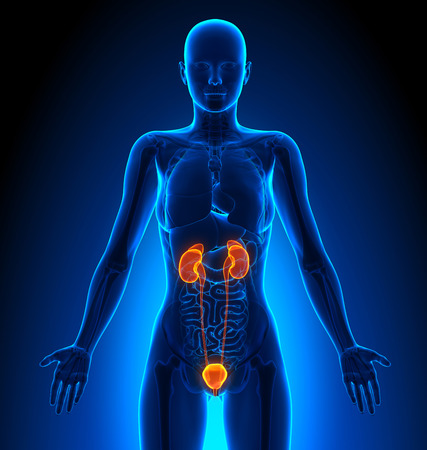 Harnwege - weiblichen Organe - Human Anatomy Standard-Bild - 41378300