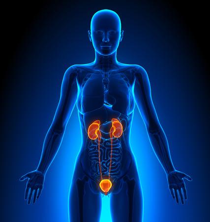 anatomie humaine: Système urinaire - Femme Orgues - Human Anatomy Banque d'images