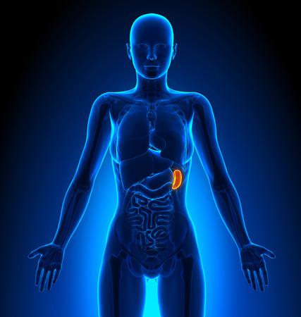 internal: Spleen - Female Organs - Human Anatomy