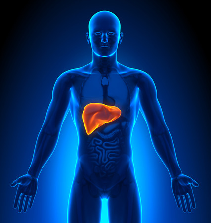 human liver: Medical Imaging - Male Organs - Liver